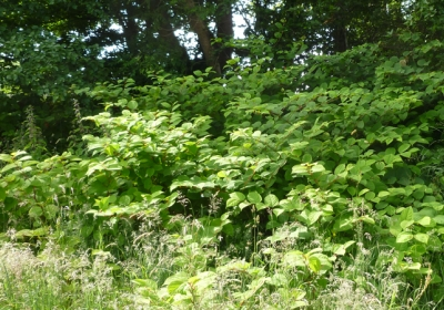 Tangled tendrils of knotweed management